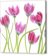 Tulip Blush Canvas Print