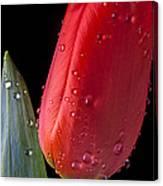 Tulip Close Up Canvas Print