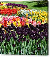 Tulip Field 1 Canvas Print