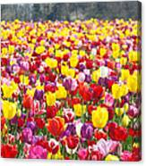 Tulip Flower Festival Art Prints Spring Canvas Print
