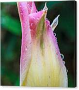 Tulip After The Rain Canvas Print