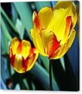 Tulip Sun Burst Canvas Print