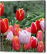 Tulip Tango Canvas Print