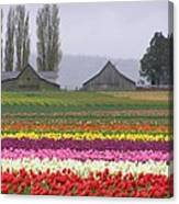 Tulip Town Barns Canvas Print