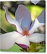 Tulip Tree Bloom Canvas Print