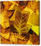 Tulip Tree Leaves In Autumn Canvas Print
