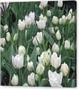 Tulip White Show Flower Butterfly Garden Canvas Print