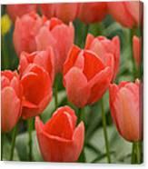 Tulips 33 Canvas Print