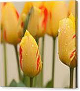 Tulips 6 Canvas Print