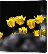 Tulips 6077 Canvas Print