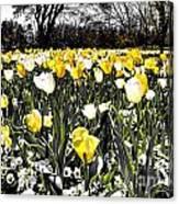 Tulips At Dallas Arboretum V26 Canvas Print