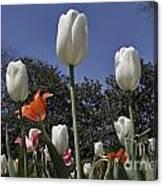 Tulips At Dallas Arboretum V36 Canvas Print