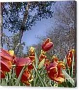 Tulips At Dallas Arboretum V37 Canvas Print