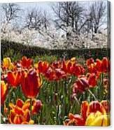 Tulips At Dallas Arboretum V39 Canvas Print