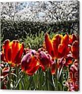 Tulips At Dallas Arboretum V41 Canvas Print