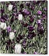 Tulips At Dallas Arboretum V43 Canvas Print