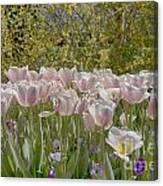 Tulips At Dallas Arboretum V45 Canvas Print