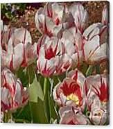 Tulips At Dallas Arboretum V53 Canvas Print