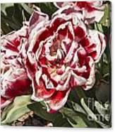 Tulips At Dallas Arboretum V55 Canvas Print