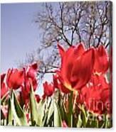 Tulips At Dallas Arboretum V62 Canvas Print