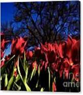 Tulips At Dallas Arboretum V63 Canvas Print