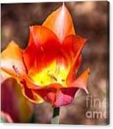 Tulips At Dallas Arboretum V64 Canvas Print