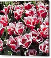 Tulips At Dallas Arboretum V70 Canvas Print