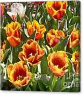 Tulips At Dallas Arboretum V71 Canvas Print