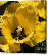 Tulips At Dallas Arboretum V76 Canvas Print