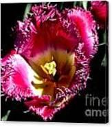 Tulips At Dallas Arboretum V77 Canvas Print