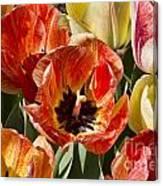 Tulips At Dallas Arboretum V81 Canvas Print