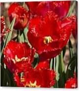 Tulips At Dallas Arboretum V83 Canvas Print