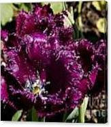 Tulips At Dallas Arboretum V85 Canvas Print