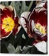Tulips At Dallas Arboretum V92 Canvas Print