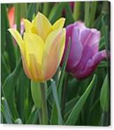 Tulips - Caring Thoughts 03 Canvas Print