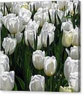 Tulips - Field With Love 19 Canvas Print