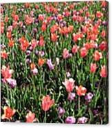 Tulips - Field With Love 55 Canvas Print