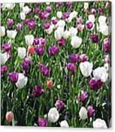 Tulips - Field With Love 60 Canvas Print