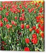 Tulips - Field With Love 61 Canvas Print