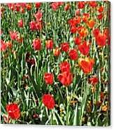 Tulips - Field With Love 62 Canvas Print