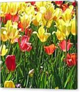 Tulips - Field With Love 65 Canvas Print