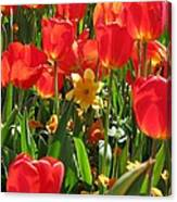 Tulips - Field With Love 71 Canvas Print