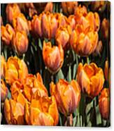 Tulips Galore  Canvas Print