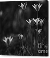 Tulips In Black And White Canvas Print