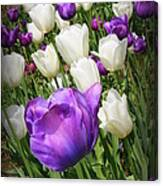 Tulips In Purple And White Canvas Print