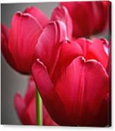 Tulips In The  Morning Light Canvas Print