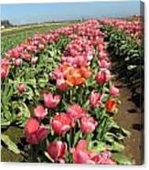 Tulips Mt Hood Canvas Print