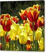 Tulips Of Germany Canvas Print