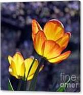 Tulips With Purple Bokeh Canvas Print