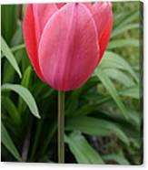 Tuliptime Canvas Print
